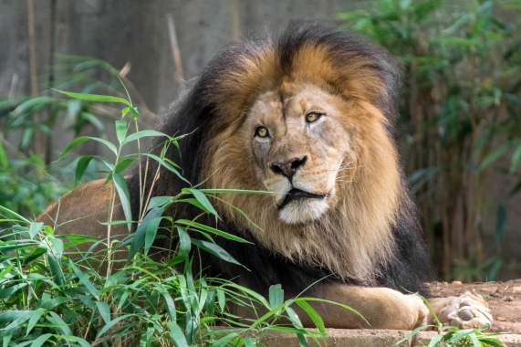 In your own way, be a lion | Smithsonian's National Zoo